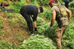 """Taurianova, """"coltivavano"""" tra i boschi della Limina: sequestrate 1229 piante di marijuana"""