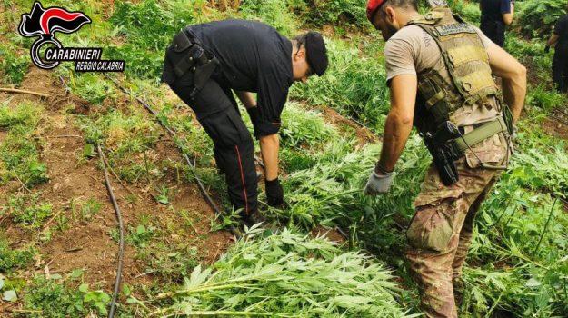 cannabis, sequestro, taurianova, Reggio, Cronaca