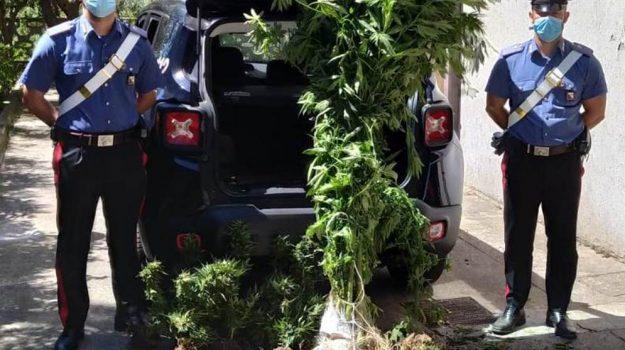 albi, arrestato, cannabis, carabinieri, Catanzaro, Cronaca