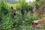 Gioiosa Jonica, coltivavano una piantagione di... droga: tre arresti