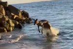 Australia, canguro fa un... salto al mare. La nuotata diverte i bagnanti - VIDEO