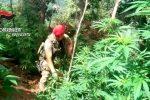 Vibo Valentia, scoperta e distrutta una piantagione di canapa indica