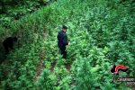 Spaccio di droga nel reggino: arrestato un 24enne, sequestrate 125 piante di canapa indiana