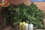 Catanzaro, sequestrata rigogliosa vegetazione di marijuana. Denunciato un 54enne