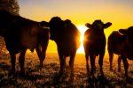 Russia, mucche clonate produrranno latte senza lattosio