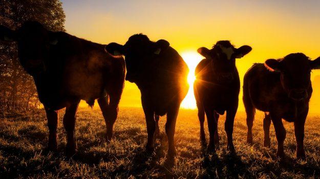 mucche clonate, Sicilia, Mondo