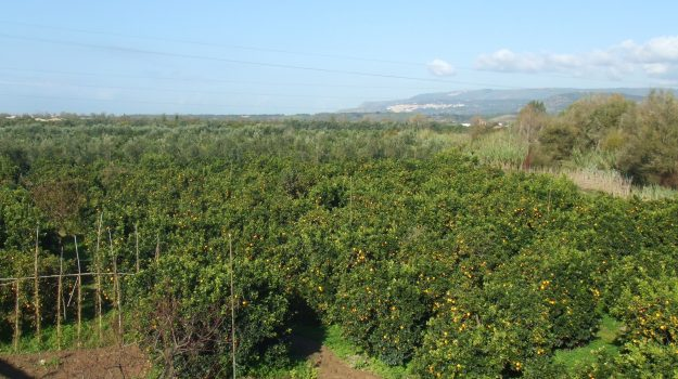 agricoltura in crisi, agrumeti, crisi, gioia tauro, rosarno, Reggio, Cronaca