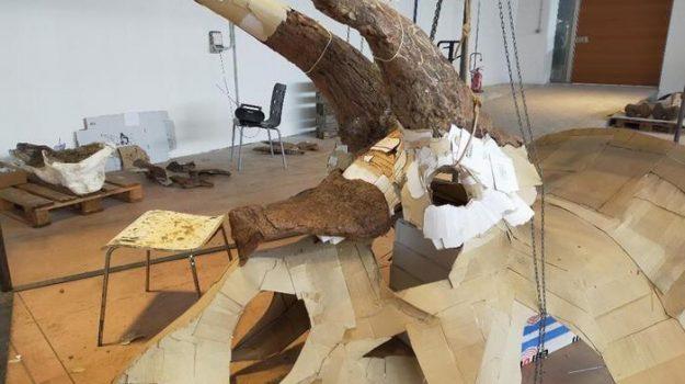"""Sarà esposto per la prima volta a Trieste """"Big John"""", il più grande Triceratopo del mondo"""