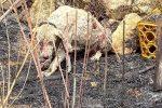 Angelo non ce l'ha fatta, il cane pastore simbolo degli incendi in Sardegna