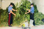 Crotone, sorpreso a irrigare marijuana: arrestato dipendente comunale
