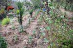 Nicotera, i carabinieri estirpano oltre 230 piante di marijuana. Due arresti