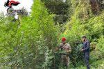 Mammola, scoperta piantagione 300 piante di marijuana sul monte Limina