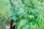 Carlopoli, coltivava cannabis nel suo terreno. In manette un 52enne