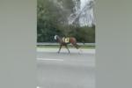 Usa: scappa dalla gara e prende l'autostrada, la lunga fuga per la libertà di un cavallo da corsa