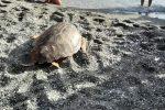 Il ritorno in mare di Mariachiara, la tartaruga caretta caretta salvata a Cetraro - FOTO