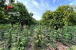 San Calogero: sequestrate 10.000 piante di canapa indiana. Un arresto