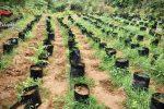 Vivaio della marijuana ad Ariola di Gerocarne: sequestrate 3mila piante - FOTO