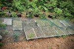 Distese di marijuana nel Vibonese, sequestrate oltre 3000 piante - VIDEO