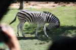 Zebra scappa da un allevamento e sparisce nei boschi