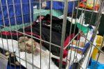 E' morto Angelo, il cane che aveva difeso le sue pecore negli incendi in Sardegna