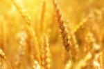 Cereali, preparazione campagna aratura-semina 2021/2022 in Algeria