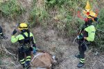 Catanzaro, mucca finisce in un fossato: recuperata con l'elicottero dai Vigili del fuoco VIDEO