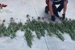 Vibo, coltivava la droga (140 piante) nascosta nell'orto. In manette un 36enne