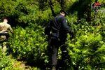 Cinquefrondi, scoperte 485 piante di marijuana nei boschi della Limina