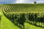Piemonte, pubblicata graduatoria per superfici viticole Barbera d'Asti