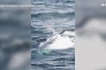 Gabbiano plana sulla schiena di una balena, video mozzafiato dall'Argentina