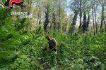 Cetraro, sequestrata una vasta piantagione di marijuana: scattano cinque arresti VIDEO