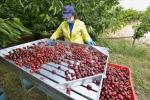 Agricoltura, in Veneto lotta biologica al moscerino della ciliegia
