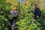 Cetraro, scoperta e distrutta una piantagione di marijuana