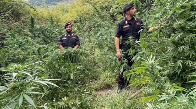 400 piante marijuana, carabinieri, cetraro, Cosenza, Cronaca