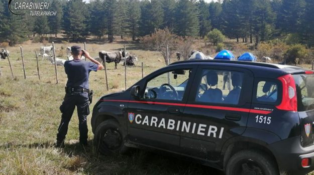 carabinieri, controllo pascolo, transumanza, Cosenza, Cronaca