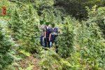 """""""Bosco"""" di marijuana scoperto ed estirpato dalla polizia a Fuscaldo"""