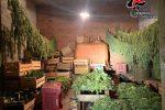 Taurianova, sequestrati oltre 50 kg di marijuana. Due coltivatori denunciati