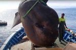 Gigantesco pesce luna da quasi due tonnellate liberato dalla rete a Ceuta - VIDEO