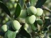 Camminata tra olivi, promozione Sardegna con eccellenze agroalimentari