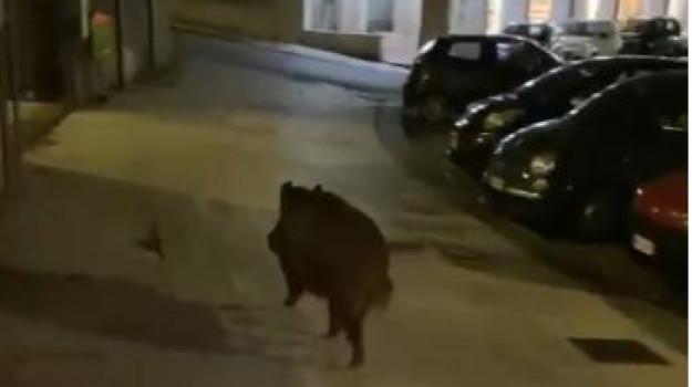 Messina, un cinghiale a spasso a piazza Castronovo tra lo stupore generale. IL VIDEO