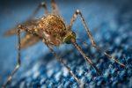 """Già diffusa in Italia la zanzara """"invernale"""" coreana: è la Aedes koreicus resistente al freddo"""