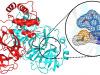 L'eugenolo potenziale antivirale contro il Covid-19