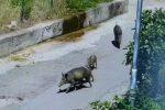 Aree del Parco d'Aspromonte devastate dalla fauna selvatica